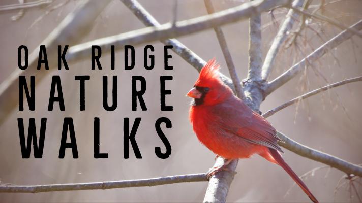 Oak Ridge Nature Walks Scheduled